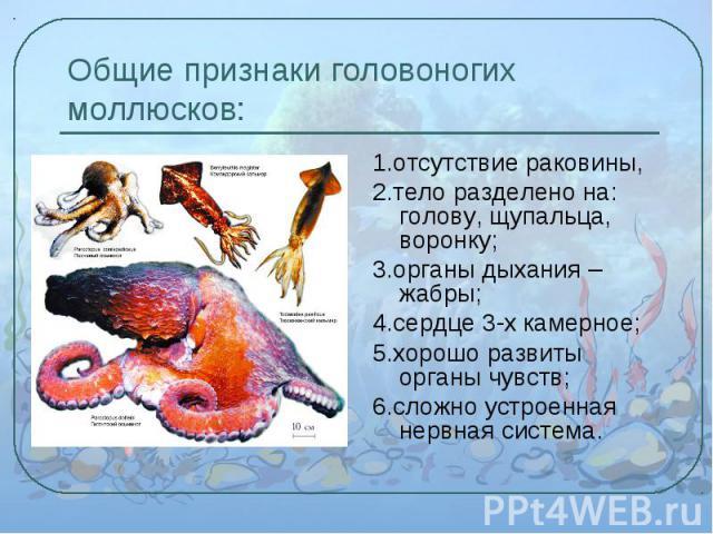 1.отсутствие раковины, 1.отсутствие раковины, 2.тело разделено на: голову, щупальца, воронку; 3.органы дыхания – жабры; 4.сердце 3-х камерное; 5.хорошо развиты органы чувств; 6.сложно устроенная нервная система.