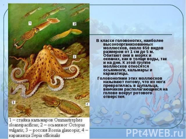 В классе головоногих, наиболее высокоорганизованных моллюсков, около 650 видов размером от 1 см до 5 м. Обитают они в морях и океанах, как в толще воды, так и на дне. К этой группе моллюсков относятся осьминоги, кальмары и каракатицы. В классе голов…