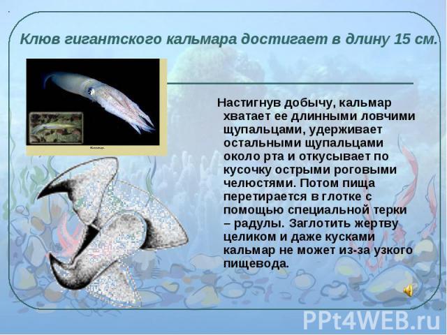 Настигнув добычу, кальмар хватает ее длинными ловчими щупальцами, удерживает остальными щупальцами около рта и откусывает по кусочку острыми роговыми челюстями. Потом пища перетирается в глотке с помощью специальной терки – радулы. Заглотить жертву …