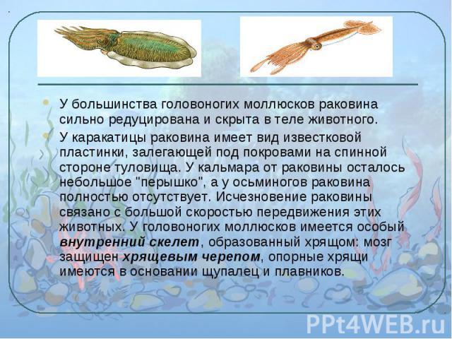 У большинства головоногих моллюсков раковина сильно редуцирована и скрыта в теле животного. У большинства головоногих моллюсков раковина сильно редуцирована и скрыта в теле животного. У каракатицы раковина имеет вид известковой пластинки, залегающей…