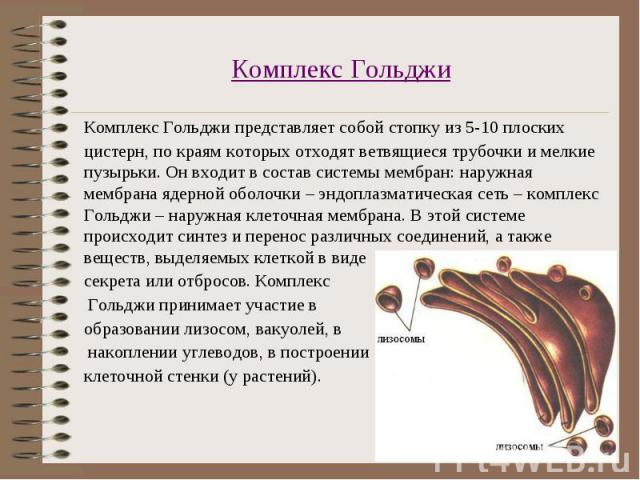 Комплекс Гольджи представляет собой стопку из 5-10 плоских цистерн, по краям которых отходят ветвящиеся трубочки и мелкие пузырьки. Он входит в состав системы мембран: наружная мембрана ядерной оболочки – эндоплазматическая сеть – комплекс Гольджи –…
