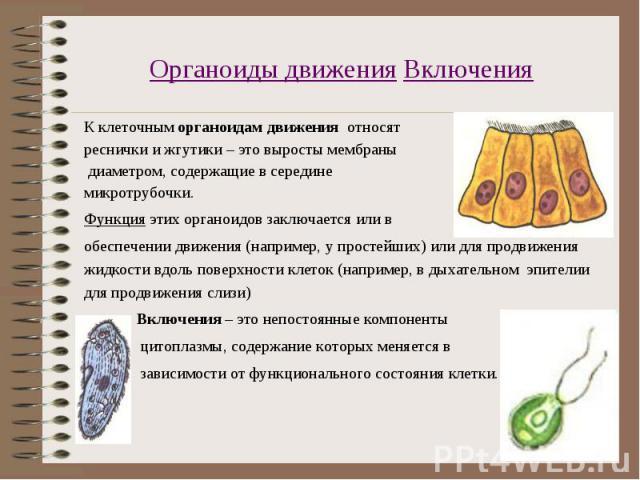 К клеточным органоидам движения относят К клеточным органоидам движения относят реснички и жгутики – это выросты мембраны диаметром, содержащие в середине микротрубочки. Функция этих органоидов заключается или в обеспечении движения (например, у про…