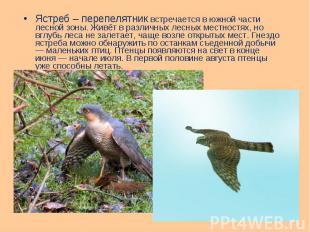 Ястреб – перепелятник встречается в южной части лесной зоны. Живёт в различных л