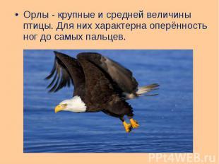 Орлы - крупные и средней величины птицы. Для них характерна оперённость ног до с
