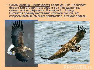 Самки орлана – белохвоста весят до 5 кг. Населяет берега морей, крупных озёр и р