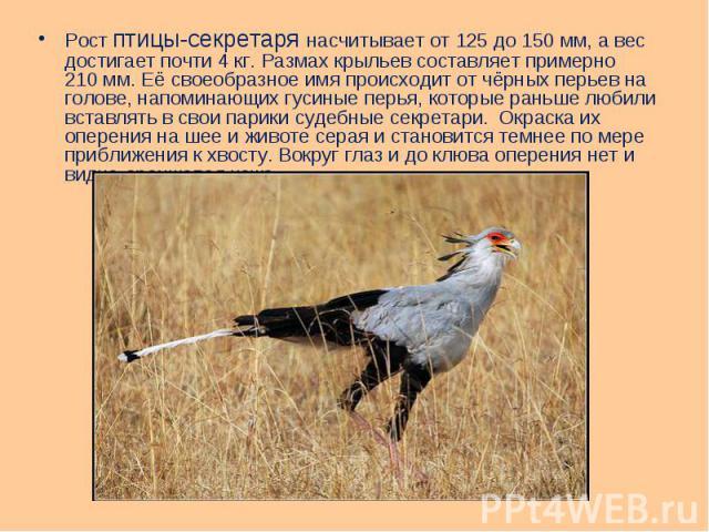 Рост птицы-секретаря насчитывает от 125 до 150мм, а вес достигает почти 4кг. Размах крыльев составляет примерно 210мм. Её своеобразное имя происходит от чёрных перьев на голове, напоминающих гусиные перья, которые раньше любили вст…