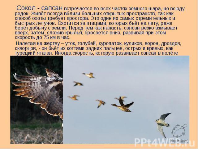 Сокол - сапсан встречается во всех частях земного шара, но всюду редок. Живёт всегда вблизи больших открытых пространств, так как способ охоты требует простора. Это один из самых стремительных и быстрых летунов. Охотится за птицами, которых бьёт на …