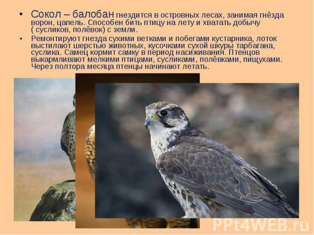 Сокол – балобан гнездится в островных лесах, занимая гнёзда ворон, цапель. Способен бить птицу на лету и хватать добычу ( сусликов, полёвок) с земли. Сокол – балобан гнездится в островных лесах, занимая гнёзда ворон, цапель. Способен бить птицу на л…