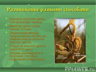 Сережки -мужские цветы, они производят пыльцу Сережки -мужские цветы, они произв