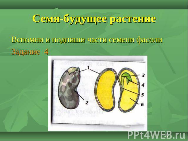 Вспомни и подпиши части семени фасоли Вспомни и подпиши части семени фасоли Задание 4