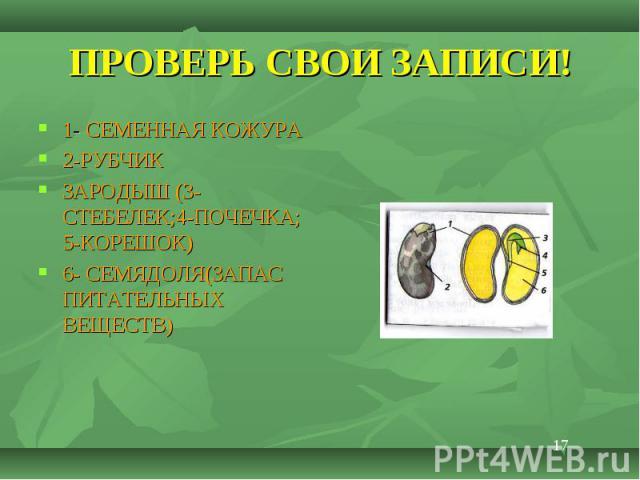 1- СЕМЕННАЯ КОЖУРА 1- СЕМЕННАЯ КОЖУРА 2-РУБЧИК ЗАРОДЫШ (3-СТЕБЕЛЕК;4-ПОЧЕЧКА; 5-КОРЕШОК) 6- СЕМЯДОЛЯ(ЗАПАС ПИТАТЕЛЬНЫХ ВЕЩЕСТВ)