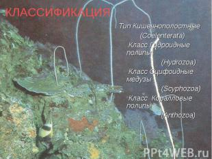 Тип Кишечнополостные Тип Кишечнополостные (Coelenterata) Класс Гидроидные полипы
