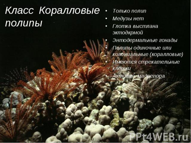 Только полип Только полип Медузы нет Глотка выстлана эктодкрмой Энтодермальные гонады Полипы одиночные или колониальные (коралловые) Имеются стрекательные клетки Актиния, мадрепора