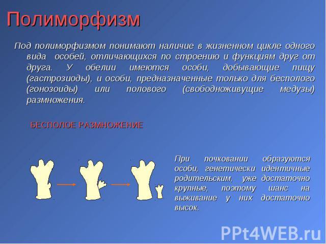 Под полиморфизмом понимают наличие в жизненном цикле одного вида особей, отличающихся по строению и функциям друг от друга. У обелии имеются особи, добывающие пищу (гастрозиоды), и особи, предназначенные только для бесполого (гонозоиды) или полового…