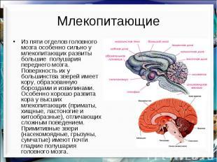 Млекопитающие Из пяти отделов головного мозга особенно сильно у млекопитающих ра