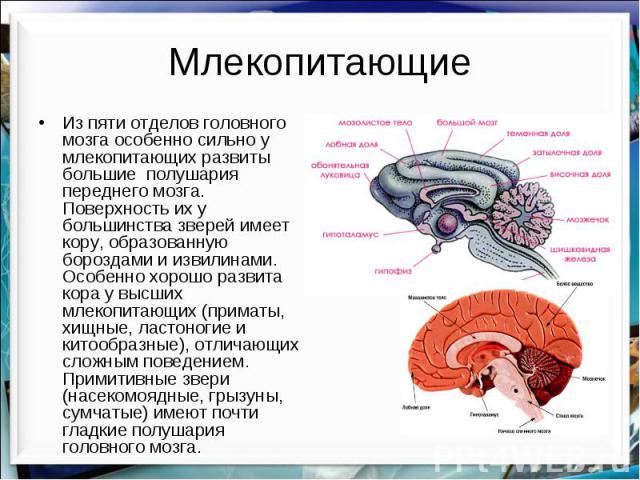Млекопитающие Из пяти отделов головного мозга особенно сильно у млекопитающих развиты большие полушария переднего мозга. Поверхность их у большинства зверей имеет кору, образованную бороздами и извилинами. Особенно хорошо развита кора у высших млеко…