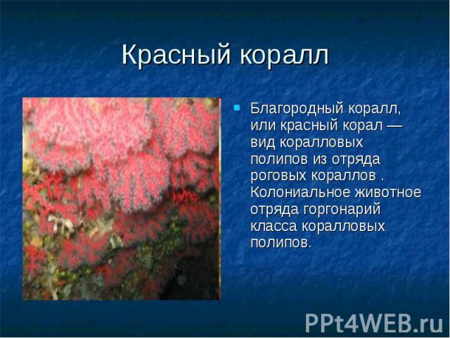 Благородный коралл, или красный корал — вид коралловых полипов из отряда роговых кораллов . Колониальное животное отряда горгонарий класса коралловых полипов. Благородный коралл, или красный корал — вид коралловых полипов из отряда роговых кораллов …