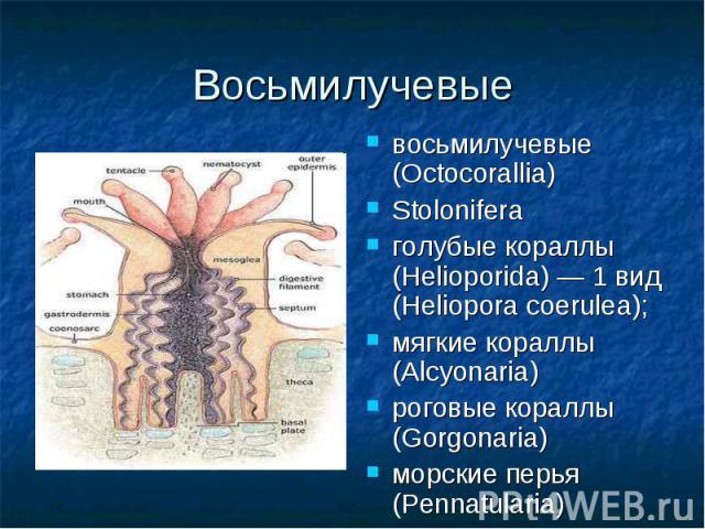 восьмилучевые (Octocorallia) восьмилучевые (Octocorallia) Stolonifera голубые кораллы (Helioporida) — 1 вид (Heliopora coerulea); мягкие кораллы (Alcyonaria) роговые кораллы (Gorgonaria) морские перья (Pennatularia)