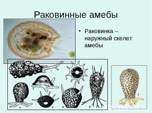 Раковинные амебы Раковинка – наружный скелет амебы