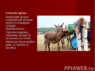 Вымерший предок современной лошади, является подвидом лошади Прживальского. Выме