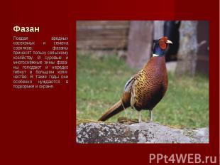 Поедая вредных насекомых и семена сорняков, фазаны приносят пользу сельскому хоз