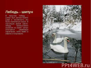 В прошлом лебедь – шипун был распространен шире и численность его была значитель