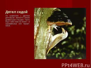 По сравнению с другими дятловыми являются менее древесными птицами. Часто ищут с