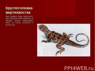 Вид ящериц рода круглоголо-вок, получила свое название за манеру сильно закручив