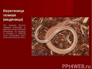 Эта ящерица безнога. Название происходит от веретена, которое формой напоминает