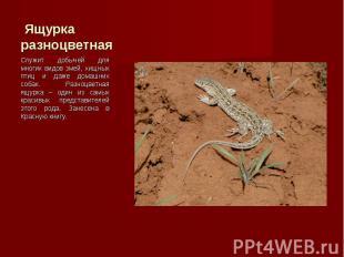 Служит добычей для многих видов змей, хищных птиц и даже домашних собак. Разноцв