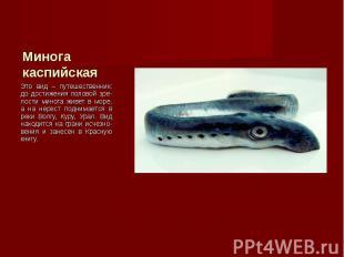 Это вид – путешественник: до достижения половой зре-лости минога живет в море, а