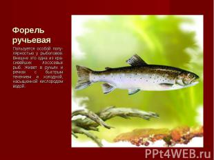 Пользуется особой попу-лярностью у рыболовов. Внешне это одна из кра-сивейших ло