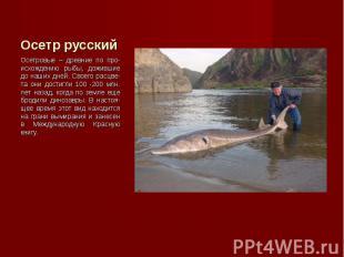 Осетровые – древние по про-исхождению рыбы, дожившие до наших дней. Своего расцв