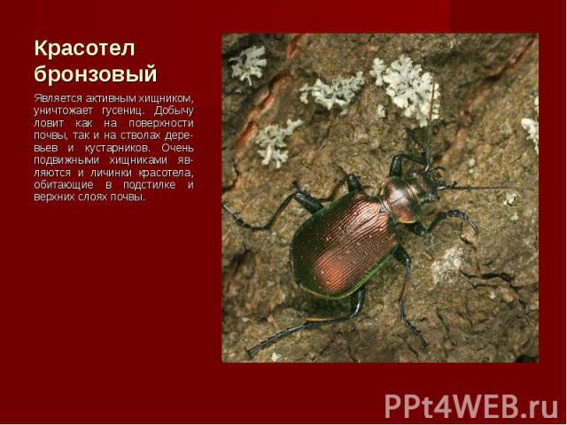 Является активным хищником, уничтожает гусениц. Добычу ловит как на поверхности почвы, так и на стволах дере-вьев и кустарников. Очень подвижными хищниками яв-ляются и личинки красотела, обитающие в подстилке и верхних слоях почвы. Является активным…