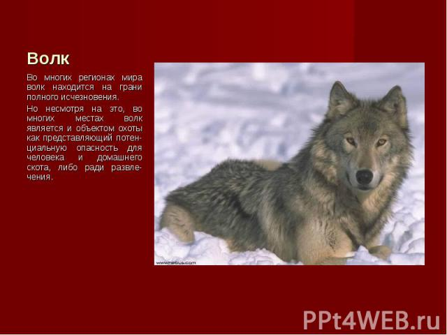 Во многих регионах мира волк находится на грани полного исчезновения. Во многих регионах мира волк находится на грани полного исчезновения. Но несмотря на это, во многих местах волк является и объектом охоты как представляющий потен-циальную опаснос…
