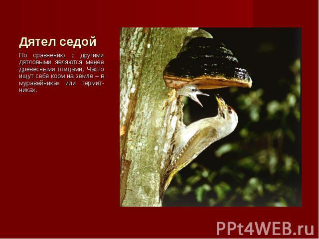 По сравнению с другими дятловыми являются менее древесными птицами. Часто ищут себе корм на земле – в муравейниках или термит-никах. По сравнению с другими дятловыми являются менее древесными птицами. Часто ищут себе корм на земле – в муравейниках и…