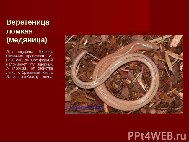 Эта ящерица безнога. Название происходит от веретена, которое формой напоминает эту ящерицу. А «ломкая» от свойства легко отбрасывать хвост. Занесена в Красную книгу. Эта ящерица безнога. Название происходит от веретена, которое формой напоминает эт…