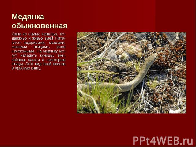 Одна из самых изящных, по-движных и живых змей. Пита-ются ящерицами, мышами, мелкими птицами, реже насекомыми. На медянку мо-гут нападать куницы, ежи, кабаны, крысы и некоторые птицы. Этот вид змей внесен в Красную книгу. Одна из самых изящных, по-д…