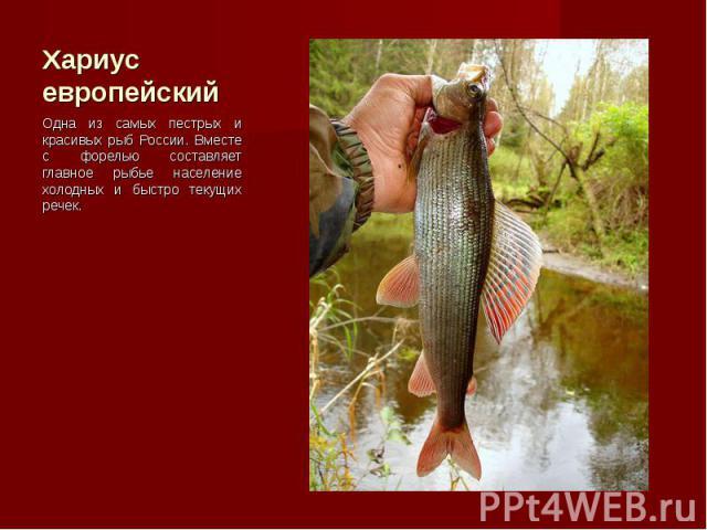 Одна из самых пестрых и красивых рыб России. Вместе с форелью составляет главное рыбье население холодных и быстро текущих речек. Одна из самых пестрых и красивых рыб России. Вместе с форелью составляет главное рыбье население холодных и быстро теку…