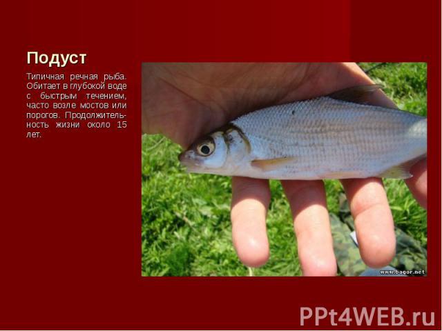 Типичная речная рыба. Обитает в глубокой воде с быстрым течением, часто возле мостов или порогов. Продолжитель-ность жизни около 15 лет. Типичная речная рыба. Обитает в глубокой воде с быстрым течением, часто возле мостов или порогов. Продолжитель-н…