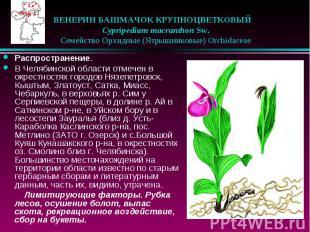 ВЕНЕРИН БАШМАЧОК КРУПНОЦВЕТКОВЫЙ  Cypripedium macranthon Sw. &