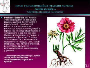 ПИОН УКЛОНЯЮЩИЙСЯ (МАРЬИН КОРЕНЬ)  Paeonia anomala L.  С