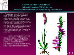 СКРУЧЕННИК ПРИЯТНЫЙ  Spiranthes amoena (Bieb.) Spreng.