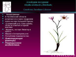 ЛЛОЙДИЯ ПОЗДНЯЯ  Lloydia serotina (L.) Reichenb. Семейство Лилейные