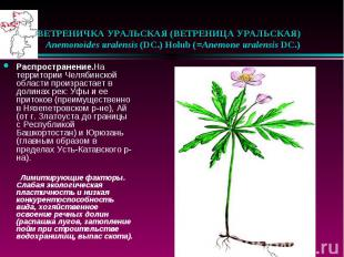 ВЕТРЕНИЧКА УРАЛЬСКАЯ (ВЕТРЕНИЦА УРАЛЬСКАЯ)  Anemonoides uralensis (D
