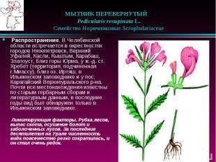 МЫТНИК ПЕРЕВЕРНУТЫЙ  Pedicularis resupinata L.  Семейств