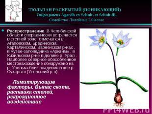 ТЮЛЬПАН РАСКРЫТЫЙ (ПОНИКАЮЩИЙ)  Tulipa patens Agardh ex Schult. et S