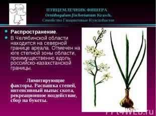 ПТИЦЕМЛЕЧНИК ФИШЕРА  Ornithogalum fischerianum Krasch.