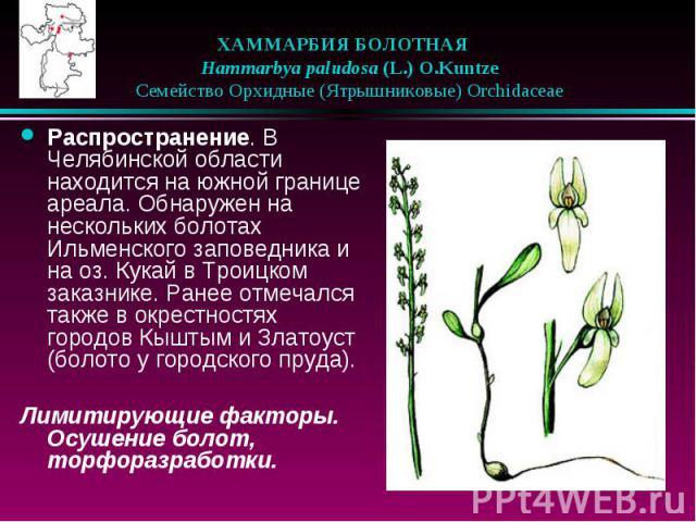ХАММАРБИЯ БОЛОТНАЯ  Hammarbya paludosa (L.) O.Kuntze  Семейство Орхидные (Ятрышниковые) Orchidaceae Распространение. В Челябинской области находится на южной границе ареала. Обнаружен на нескольких болотах Ильменского заповед…