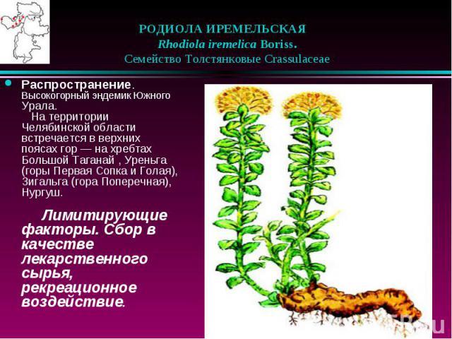 РОДИОЛА ИРЕМЕЛЬСКАЯ  Rhodiola iremelica Boriss.  Семейство Толстянковые Crassulaceae Распространение. Высокогорный эндемик Южного Урала.  На территории Челябинской области встречается в верхних поясах гор — на хре…